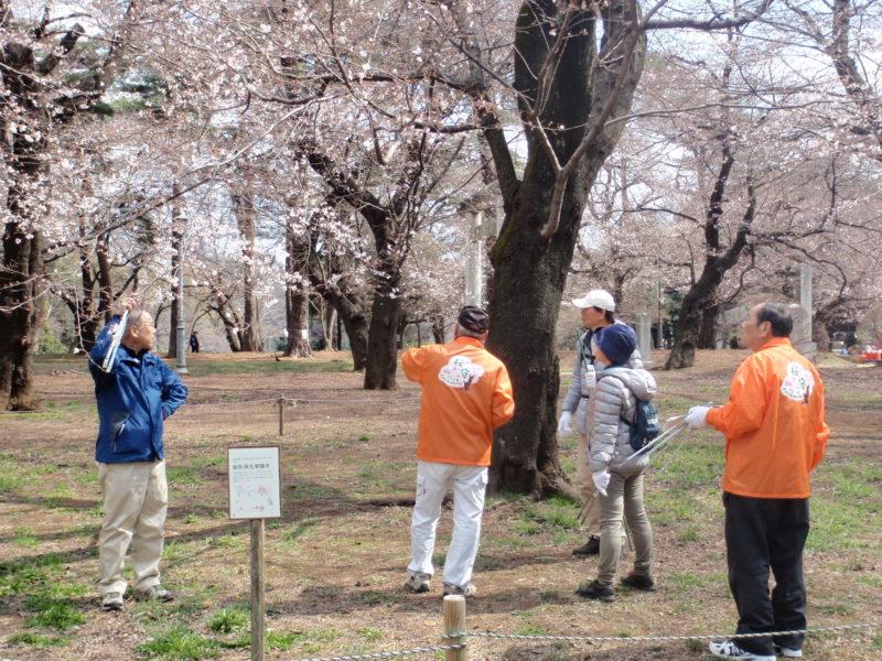 大宮公園桜守ボランティア活動支援