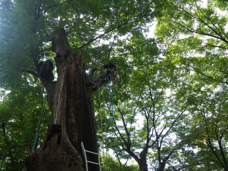 国指定天然記念物 ケヤキ並木保全対策調査・保存管理計画
